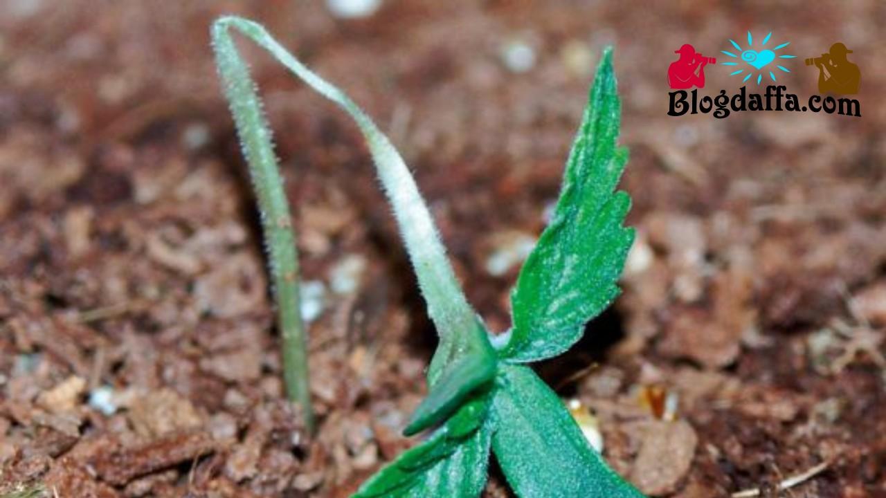 Damping Off pada tanaman