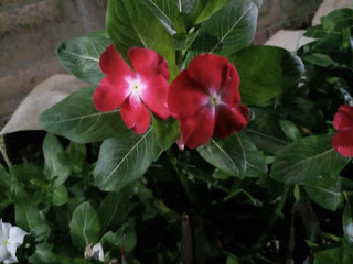 Red Madagascar Periwinkle flower picture