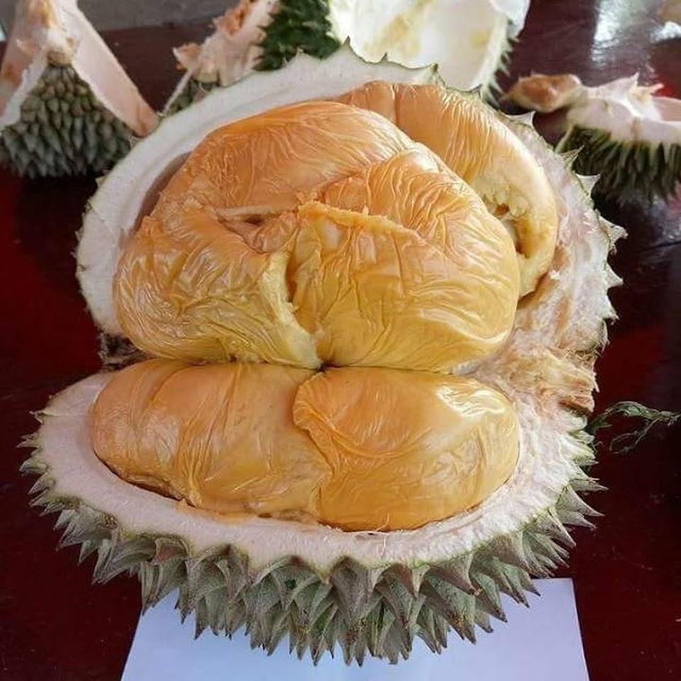 bibit durian musang king bibit durian bibit durian musangking Aceh