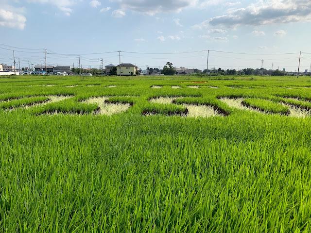 こしがや田んぼアート2019キン肉マンとラグビー日本代表の夢のタッグ(8/4)
