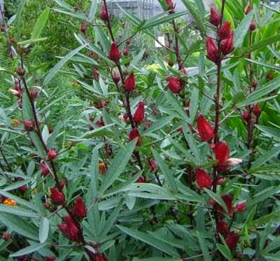 http://manfaatnyasehat.blogspot.com/2014/09/manfaat-bunga-rosella-untuk-kesehatan.html