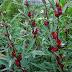 13 Khasiat Bunga Rosella untuk Kesehatan