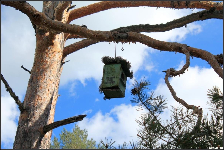 Pino albar con caseta para pájaros en El Cerviñuelo (Cuenca)