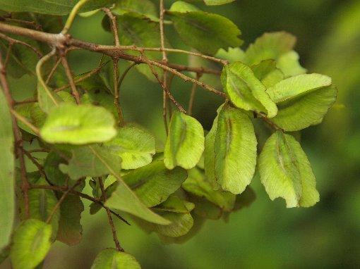Preah Phneou - Terminalia nigrovenulosa - Nguyên liệu làm thuốc Chữa Đi Lỏng-Đau Bụng