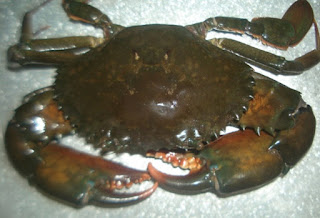 cara membersihkan kepiting sebelum dimasak,cara mengolah kepiting agar tidak amis,cara mengolah kepiting laut,cara mengolah kepiting sebelum dimasak,cara mengolah kepiting soka,