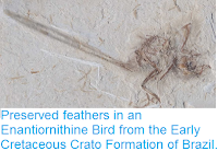 https://sciencythoughts.blogspot.com/2015/06/preserved-feathers-in-enantiornithine.html