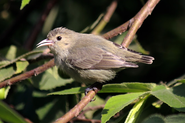 The tiny little Pale-billed Flowerpecker at the Pashan Lake, Pune