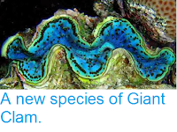 http://sciencythoughts.blogspot.co.uk/2013/12/a-new-species-of-giant-clam.html