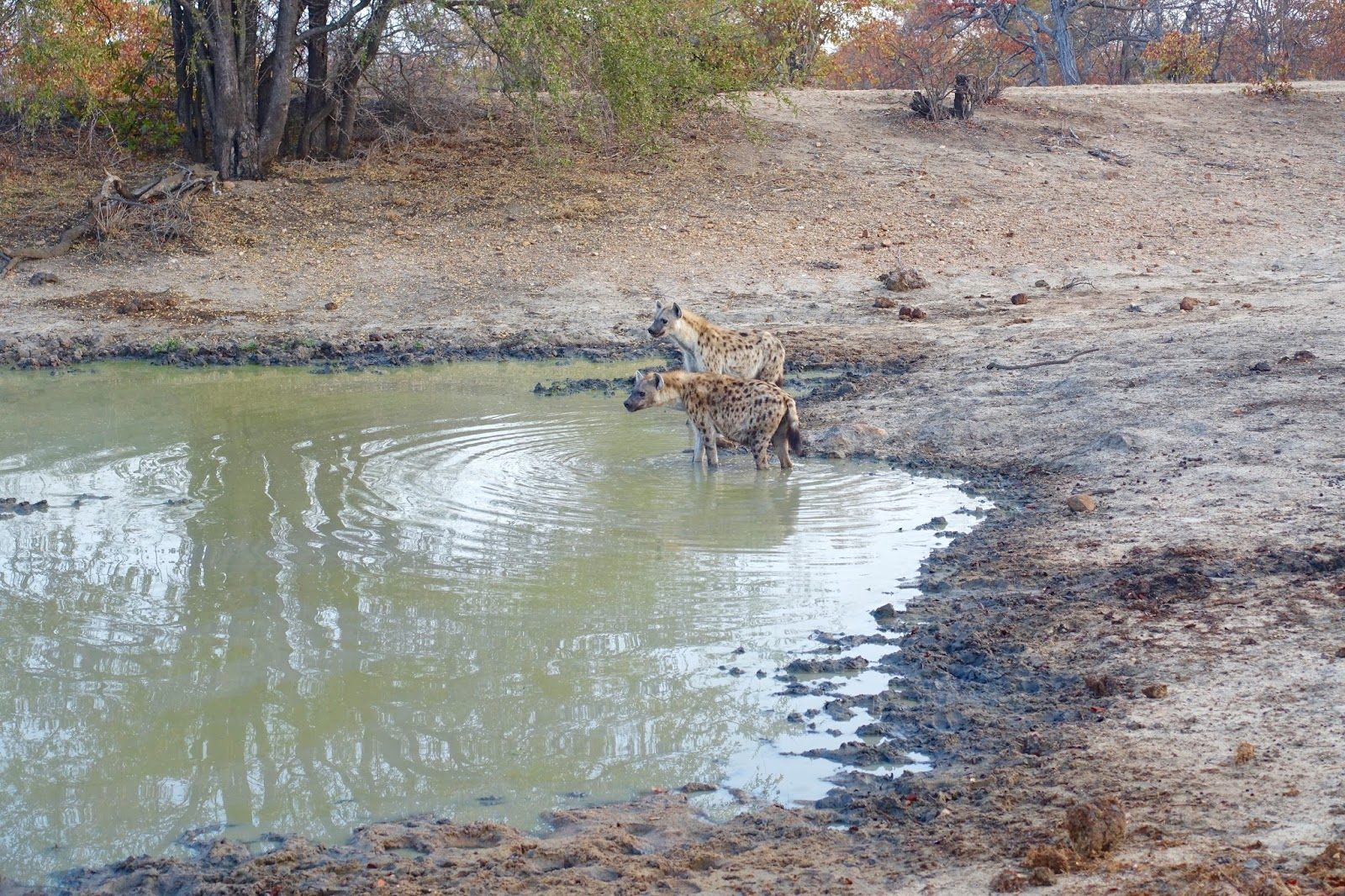 hyenas feeding at watering hole motswari