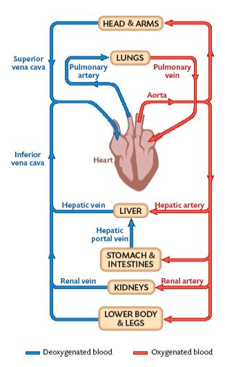 Mrbrennansscienceblog blood flow in simple diagrams blood flow in simple diagrams some diagrams to help with homework ccuart Image collections