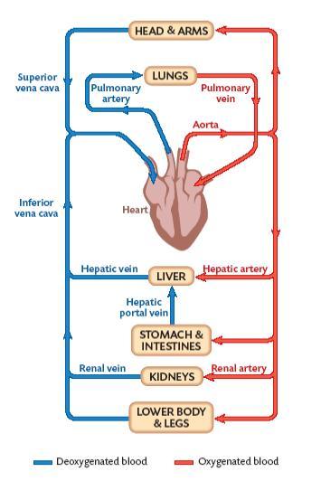 Mrbrennansscienceblog: Blood flow in simple diagrams