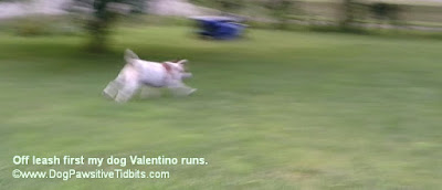 Off leash, first my dog Valentino runs.