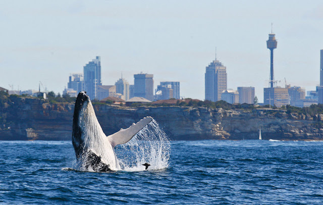 Veure balenes a Sydney: una experiència màgica i increïble!