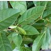 Manfaat Daun Salam [Syzygium Polyanthum] Yang Terbukti Ampuh Untuk Kesehatan Anda