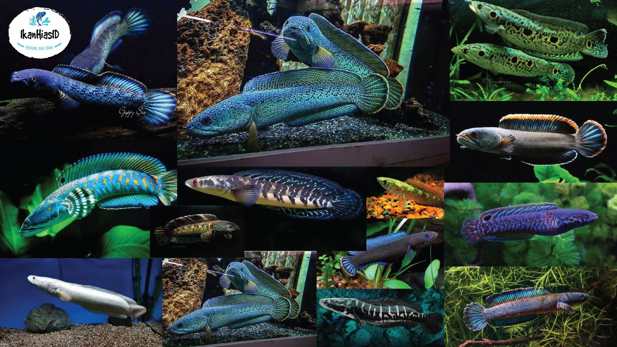 50 Jenis Ikan Channa Beserta Harga Terbaru