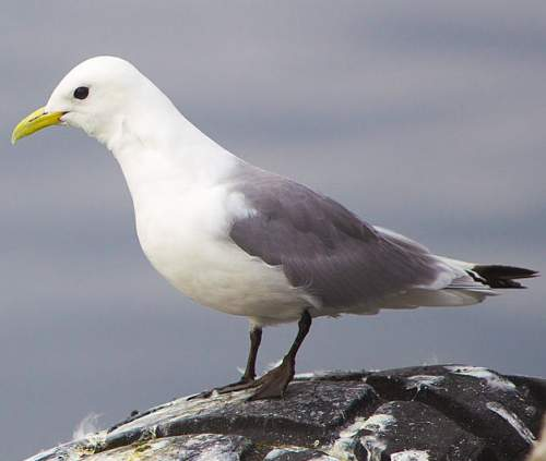 Birds of India - Photo of Black-legged kittiwake - Rissa tridactyla