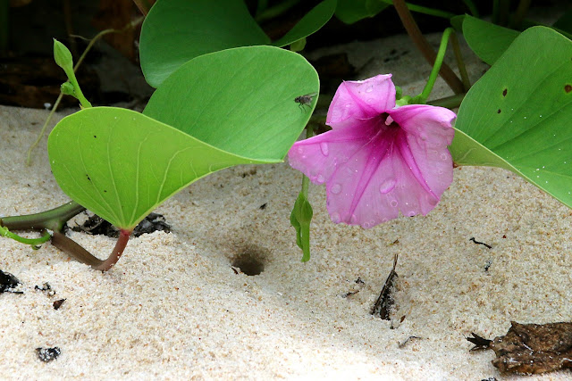 beach morning glory, ipomoea pes-caprae