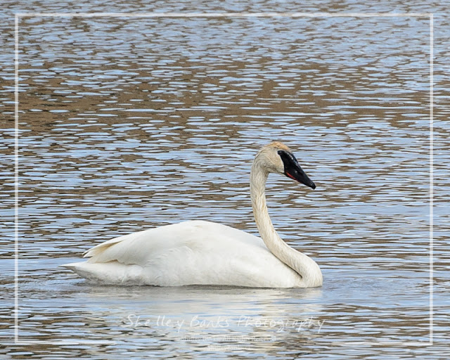Trumpeter - or Tundra - Swan. © Copyright Shelley Banks, All Rights Reserved.