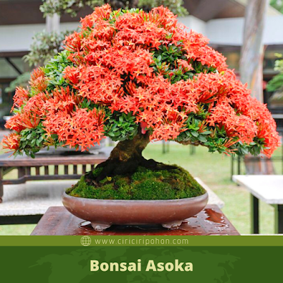 Bonsai Asoka