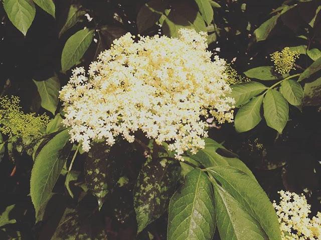 Wszystko o kwiatach czarnego bzu