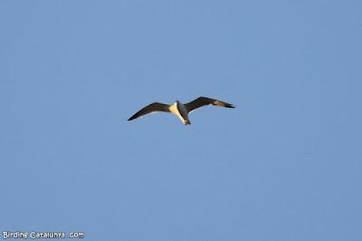 Gavià argentat (Larus michahellis)