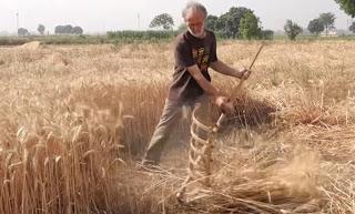 गेहूं की पांच उन्नत किस्में top high yielding wheat varieties, रोग कम और उत्पादन ज्यादा।