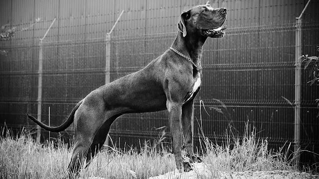 Traits of a Guard Dog