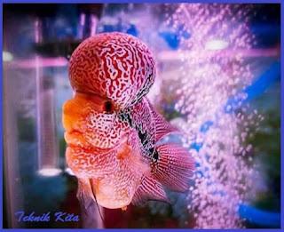 Jenis ikan louhan bonsai