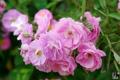Chữa phong thấp teo cơ với bài thuốc từ hoa tầm xuân