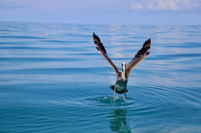 pelican,  holbox,yucatan, mexico