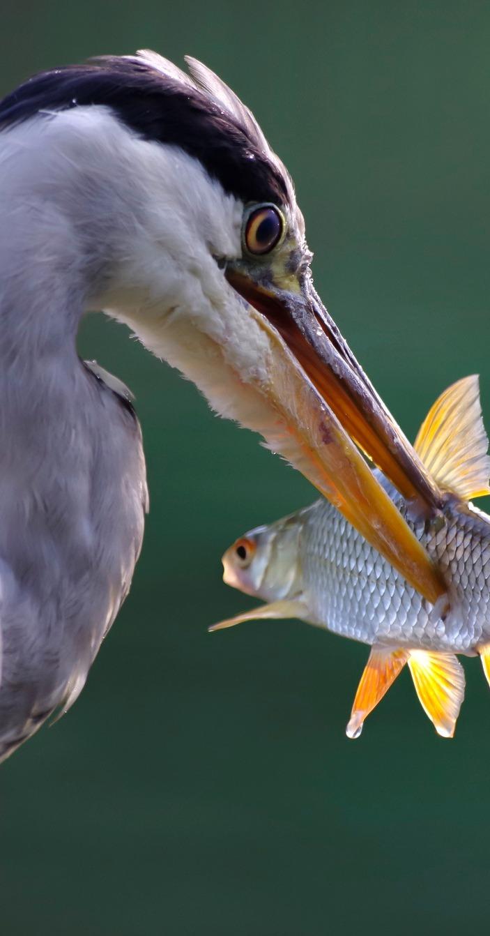 A heron's fish capture.