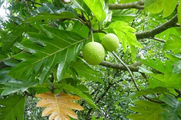 Manfaat Daun Sukun Kering Bagi Kesehatan Tubuh, khasiat dari daun sukun kering untuk kesehatan