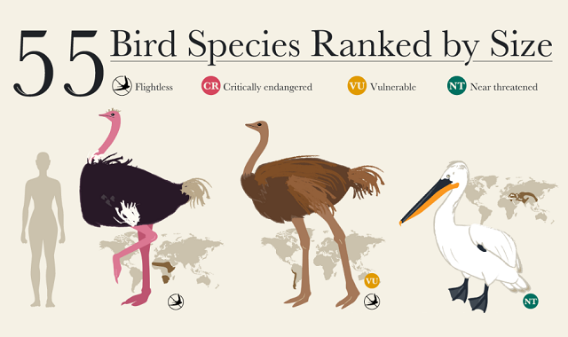 55 Bird Species Ranked by Size
