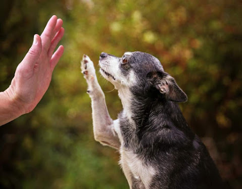 Chihuahua giving high five