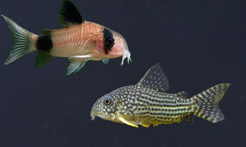 5 Jenis Ikan Corydoras Yang Perlu kalian Tahu