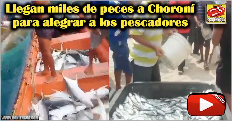 Llegan miles de peces a Choroní para alegrar a los pescadores