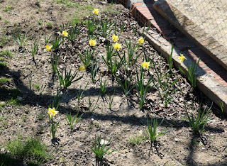 A's daffodil bed is also looking the part