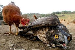 Dr Zul: Orang hebat NTB sebenarnya Elang, tak bisa terbang karena dierami ayam!
