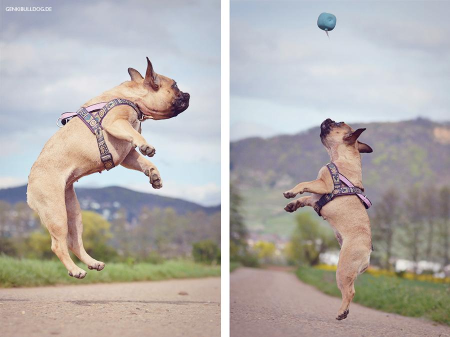 Hundeblog Genki Bulldog - Abenteuere iner Französischen Bulldogge