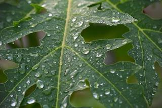 gambar daun pepaya