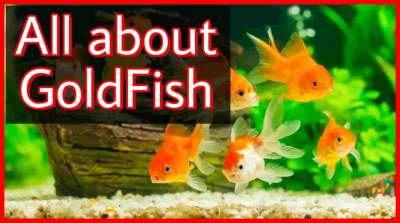 Goldfish for aquarium, all about goldfish