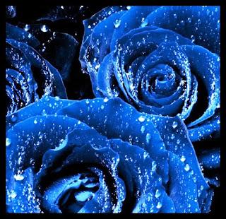 Gambar Bunga Mawar Biru Paling Cantik_Blue Roses Flower 200018