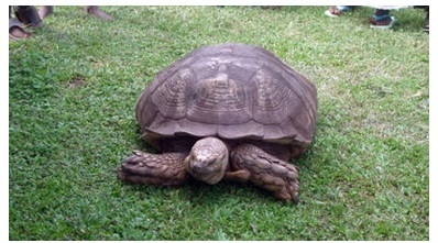 World's Oldest Animal? Meet Alagba, a Legendary 330-year-old Male Tortoise in Oyo State (Photos)