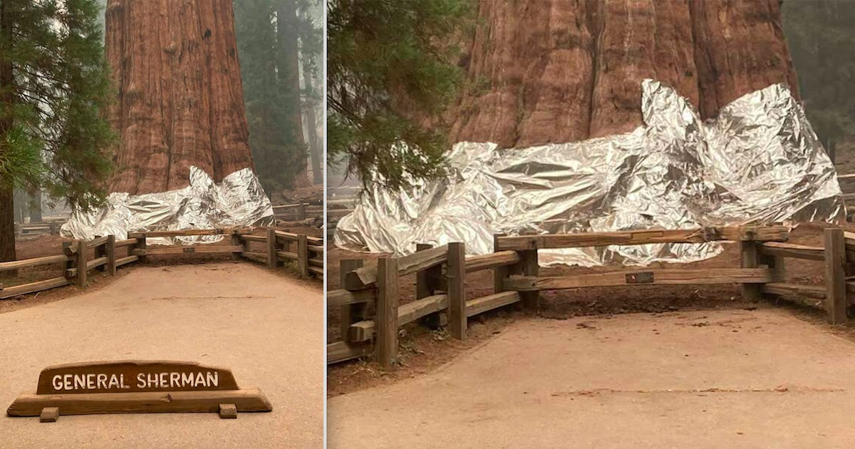 Firefighters Wrap The World's Largest Tree In Fireproof Blanket As Wildfires Rage Closer