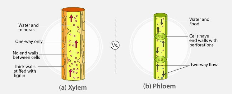 differences between xylem and phloem