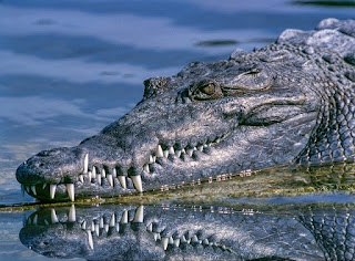 crocodiles live both in crisp and saltwater