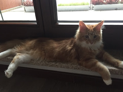 maine coon, kot