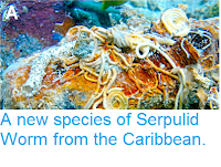 https://sciencythoughts.blogspot.com/2015/01/a-new-species-of-serpulid-worm-from.html