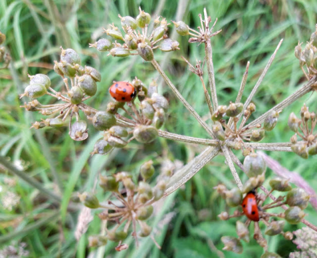 Two red ladybirds walking across brown flower seedheads