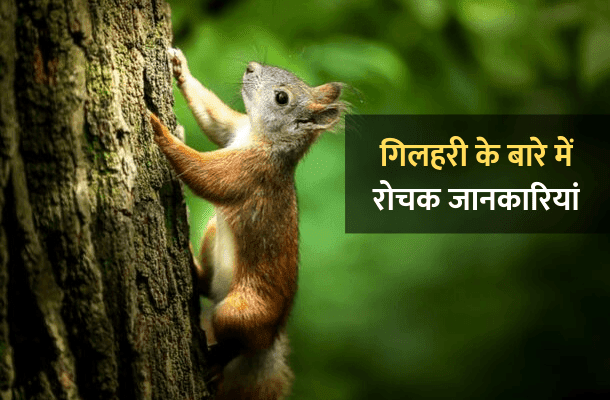 Information About Squirrel In Hindi